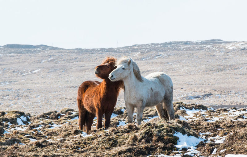 FUNNY ANIMALS Horses Iceland Animal Animal Family Animal Themes Domestic Animals Environment Field Funny Horse  Group Of Animals Herbivorous Horse Photography  Horse Riding Icelandic Animal Icelandic Horse Mammal Mountain Nature No People Outdoors Two Animals Vertebrate