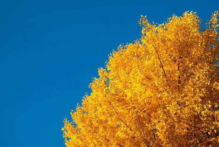 Low angle view of yellow flower tree against clear blue sky