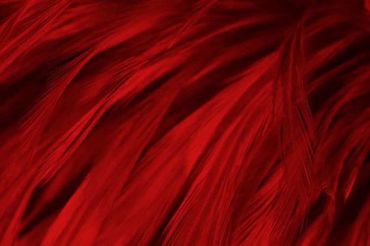 Abstract Abstract Backgrounds Arts Culture And Entertainment Backgrounds Black Background Close-up Elégance Event Feather  Flowing Full Frame Indoors  Luxury Motion Nature No People Pattern Red Rippled Silk Softness Studio Shot Textile Textured  Textured Effect