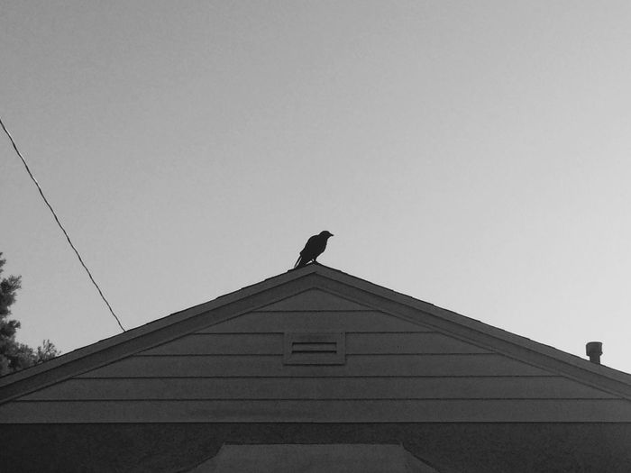 Crow From The