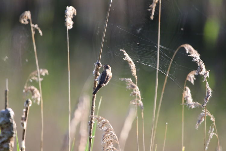 Close up of a reed warbler picking at a cattail