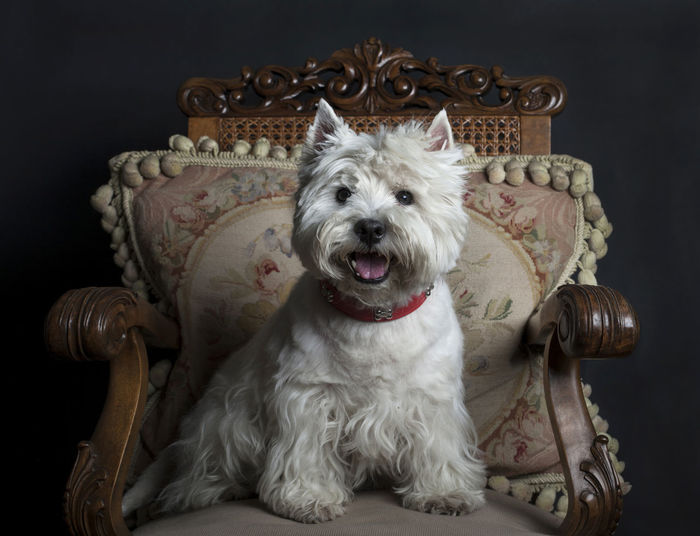 Animal Theme Armchair Collar Dog Domestic Animal Friendly Male Dog Pedigree Pedigree Dog Pet Scotish West Highland White Terrier Westie Westy White