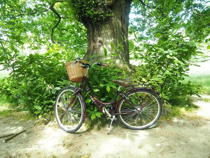 Cycling Dutch Bike Bike Bicycle And Nature Bicycle By The Tree Bicycle Cyclephotography Cycle Chic Plant Bicycle Land Vehicle Tree Transportation Day No People Nature Basket Green Color Bicycle Basket Sunlight