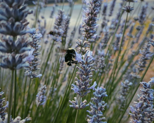 Animal Wildlife One Animal Animals In The Wild Animal Themes No People Insect Flower Outdoors Day Close-up Beauty In Nature Nature Garden Photography Garden Fresh Lavender Bee Honey Bees