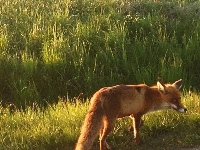 I Saw The Fox In The Evening Animal Themes One Animal Outdoors Animal Wildlife Field Grass Abendlicht EyeEm Best Shots EyeEm Best Edits EyeEm Gallery Road Tranquility Landscape Eye Em Nature Lover