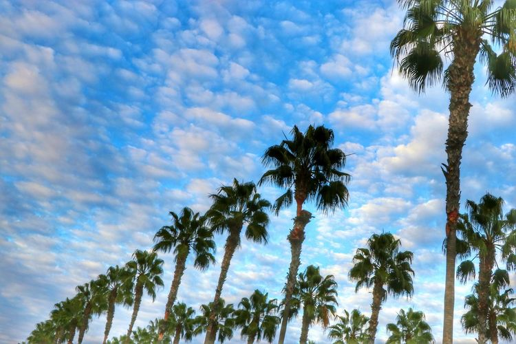 California Dreaming Beautifully Organized Palm Trees Blue Sky White Clouds Nature Outdoors Beauty In Nature Treetops Cloudscapes Skyscapes Low Angle View From My Point Of View Scenic View ForTheLoveOfPhotography Tranquil Dramatic Sky Tranquility Landscapes Blue Sky White Clouds Idyllic Sky Cloud - Sky Nature Photography Tree Photography