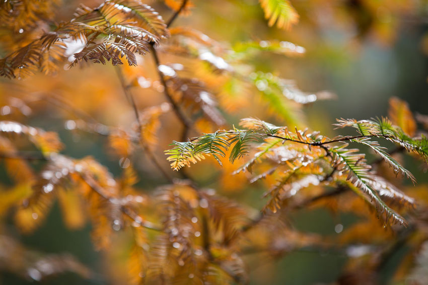 Autumn Beauty In Nature Botany Close-up Day Depth Of Field Detail Evergreen Focus On Foreground Fragility Green Green Color Growing Growth Natural Pattern Nature No People Orange Color Outdoors Plant Season  Selective Focus Stem Tranquility Twig