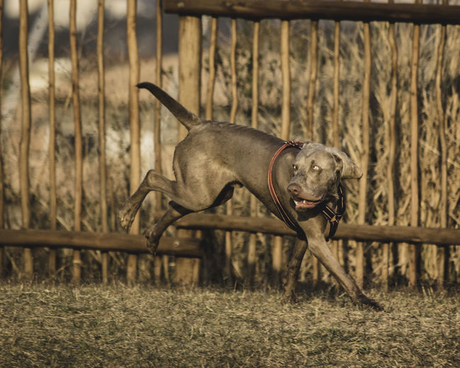 Animal Animal Themes Canine Day Dog Domestic Domestic Animals Field Focus On Foreground Grass Land Mammal Motion Nature No People One Animal Pets Plant Purebred Dog Running Vertebrate Weimaraner