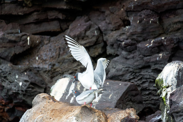 Close-up of swallow-tailed gull mating on rocks