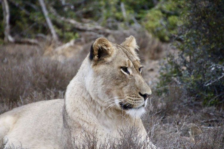 Lioness in Addo Elephant Park South Africa Lion South Africa Animal Themes Animal Wildlife Animals In The Wild Close-up Day Focus On Foreground Lion - Feline Lioness Lioness Queen Mammal Nature No People One Animal Outdoors Safari Safari Animals Safari Park Wildlife