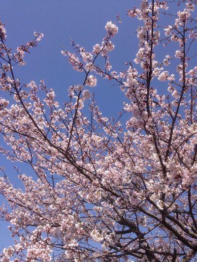 EyeEmBestPics EyeEm Nature Lover Spring Is Coming  Sakura Hello World 桜 さくら