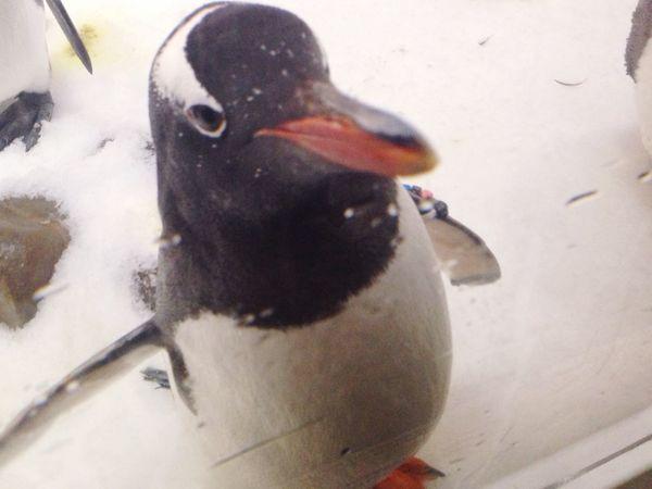 Melbourne Battle Of The Cities Melbourne City Aquarium Sealifeaquarium Penguin Blackandwhite