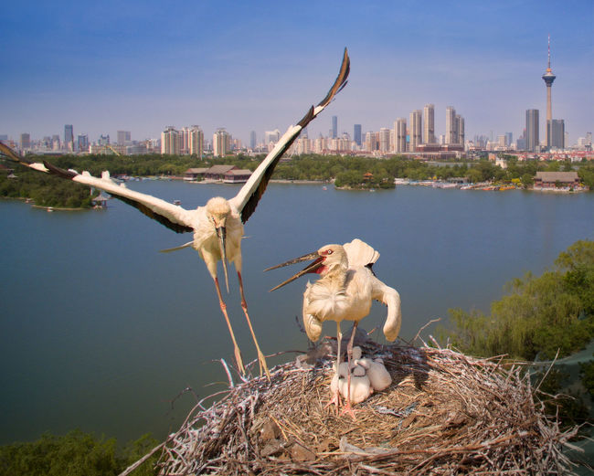Storks With Chicks Perching On Nest Against River In City