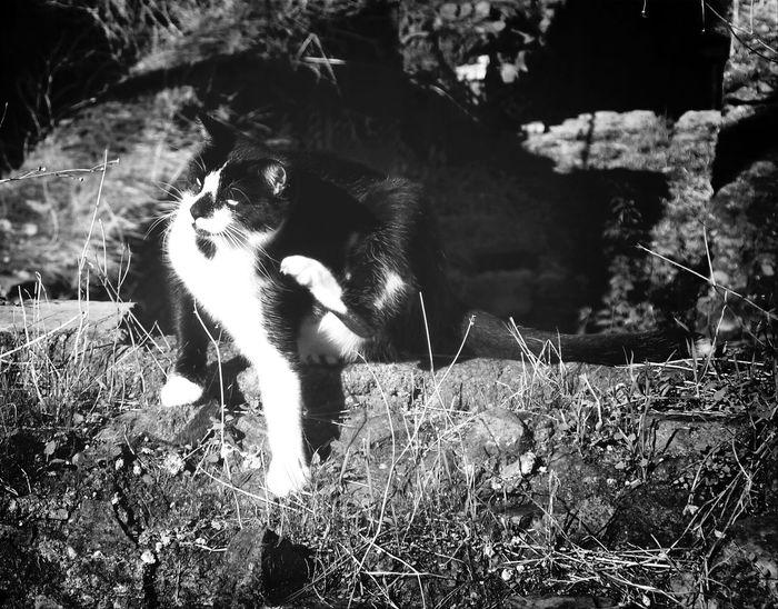 Blackandwhite Cat Cats Of Rome Scratching