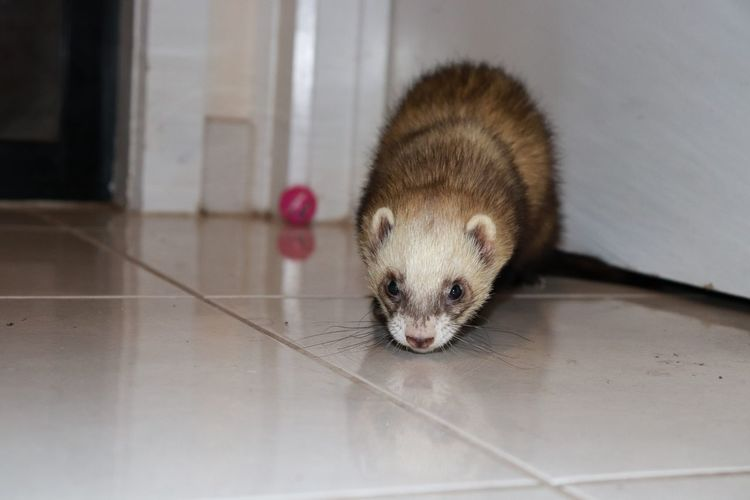 Pluto the ferret EyeEmNewHere No Filter No Filter, No Edit, Just Photography No Filters Or Effects No Filter No Edit No Filters  Nofilterneeded Nofilter Nofilter#noedit Nofilternoedit Ferret Ferretlove Ferret ❤️❤️❤️ Ferrettime Ferrets  Ferretsofinstagram Ferretpluto Pets Portrait Close-up First Eyeem Photo