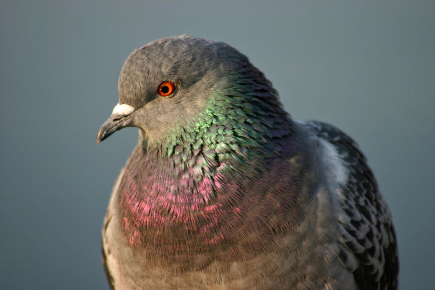 Bird Photography Colors EyeEm Nature Lover Looking At Camera Natural Light Animal Themes Animal Wildlife Animals In The Wild Beautiful Feathers Bird Bird Looking At Camera Bookcover Close-up Daylight Eye Focus On Foreground Grey Background Iridescent Color Male Pigeon Neutral Background No People One Animal Outdoors Pigeon Pigeon Head