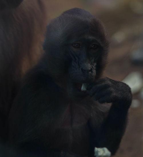 Portrait of gelada monkey sitting indoors