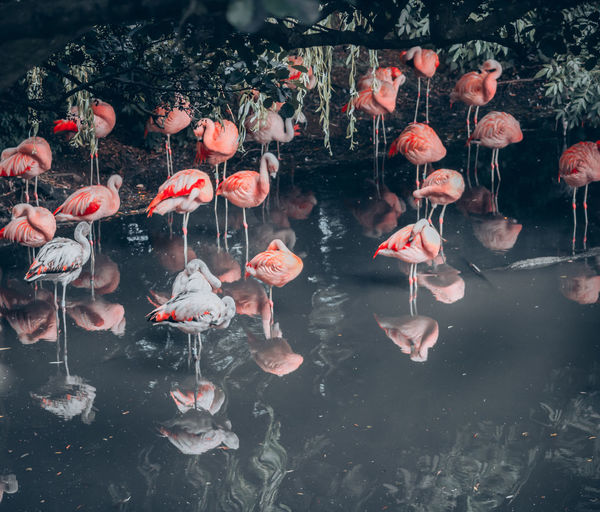 View of koi carps swimming in lake