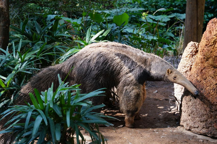 Capture Tomorrow Animal Mammal One Animal Plant Vertebrate No People Tree Day Plant Part Leaf Outdoors Animals In Captivity Zoo Side View Giant Anteater Anteater Chimelong Zoo