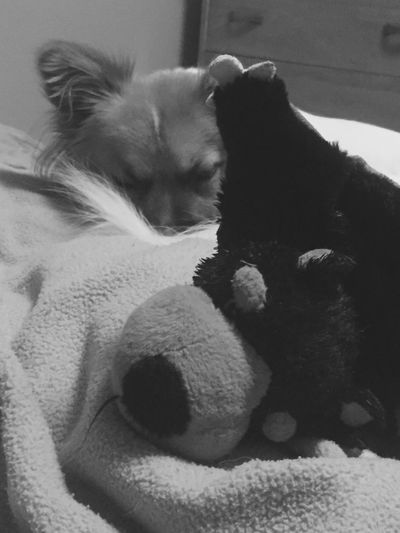 The Week On EyeEm EyEmNewHere One Animal Dog Chewie Eyes Closed  Sleeping with his favourite Stuffed Toy Relaxation Lying Down Comfortable Bed No People Good night 🐶💤💤✌️👽 Black & White
