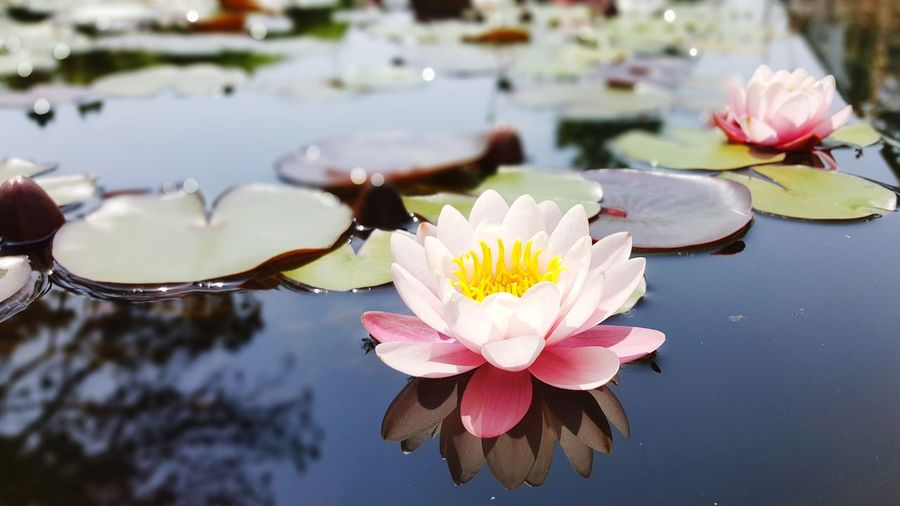 Piante Petali Sboccia Italy EyeEm Selects Flower Head Flower Water Lotus Water Lily Water Lily Floating On Water Leaf Petal Pond Close-up Plant Life Water Plant Floating