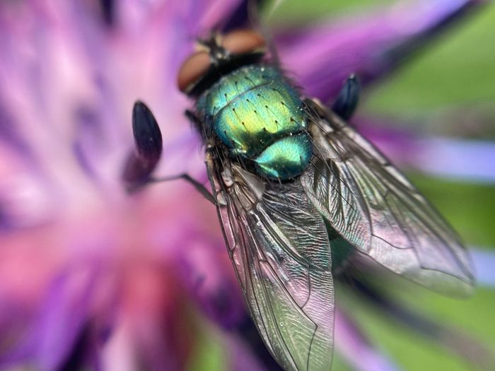 Close-up of fly on purple flower