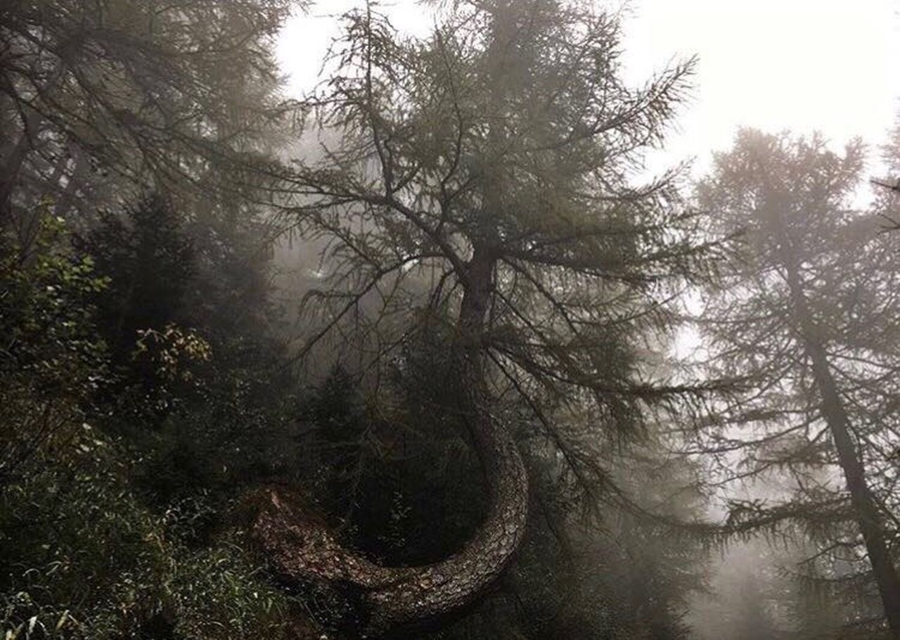 tree, forest, nature, outdoors, fog, day, beauty in nature, tranquility, no people, tranquil scene, branch, scenics, landscape, sky