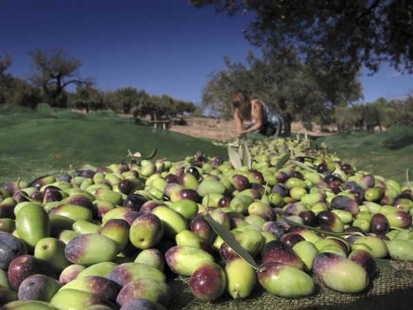 Harvesting Farga olives for olive oil, Catalonia, Spain. Olive Olives Olives Aceitunas Olive Oil Olive Oil Tree Harvest Harvesting Harvest Season Harvest Time SPAIN Spain♥ Food And Drink Food Food Photography Tree Trees Farm Life Agriculture Photography Agriculture Farming