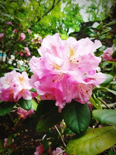 Beauty Flower Pink Color Nature Beauty In Nature Freshness