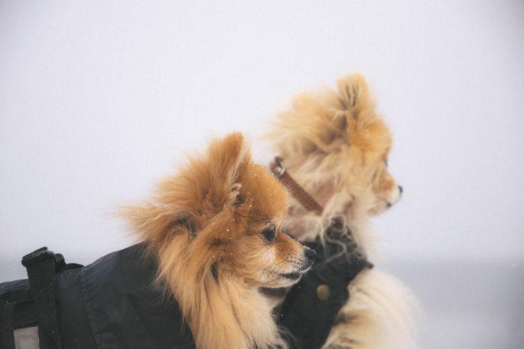 Animal Animal Themes Pets Dog No People White Background Pomeranian Winter Close-up