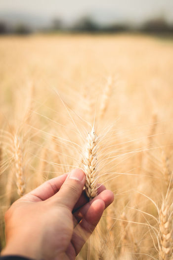 Close-up of hand holding ear of wheat on field