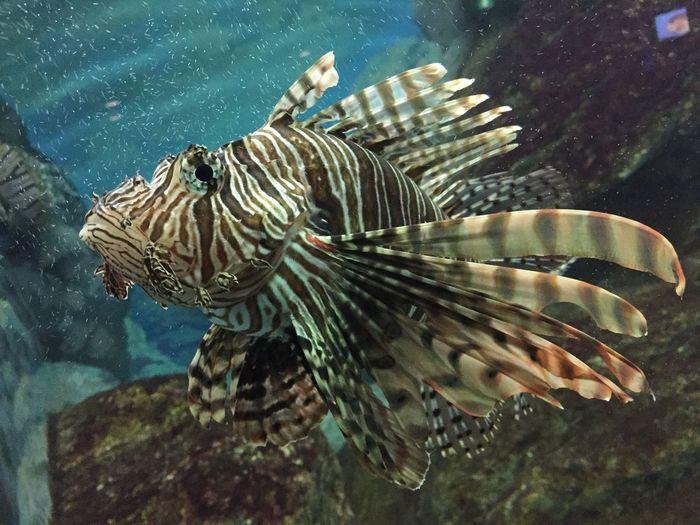 ミノカサゴ 須磨海浜水族園 Aquarium Fish