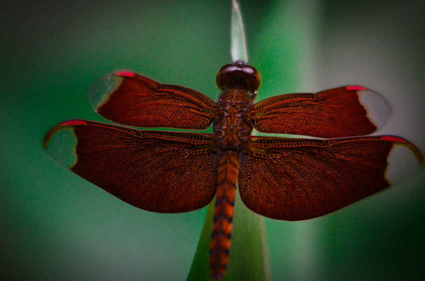 Animal Markings Animal Themes Animal Wing Animals In The Wild Beauty In Nature Close-up Dragonfly Extreme Close-up Focus On Foreground Green Color Insect Nature No People One Animal Wildlife Wing