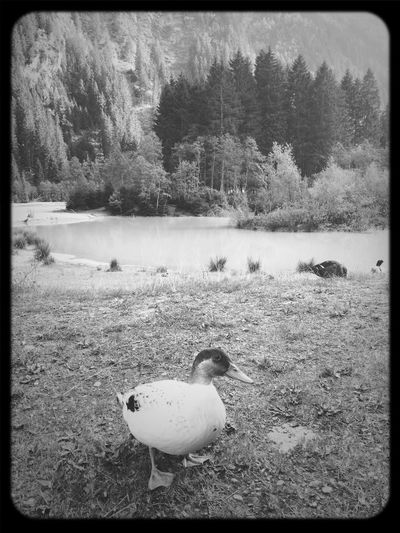 Duck The Alps Birds Blackandwhite