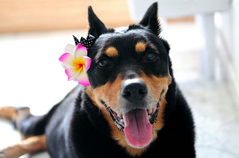 Portrait of australian kelpie with flower headband
