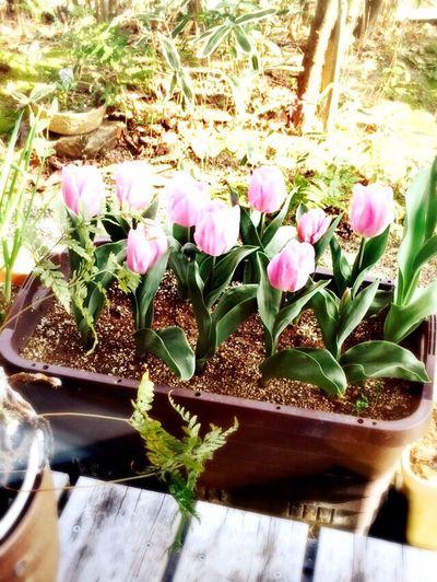 Tulips Tulips🌷 Pink Flower Pink Garden Nature Spring Spring Flowers