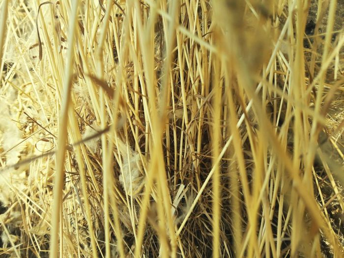 Full Frame Backgrounds Cereal Plant Growth Pattern Agriculture Plant Wheat Nature Field No People Close-up Ear Of Wheat Day Yellow Rural Scene Beauty In Nature Outdoors