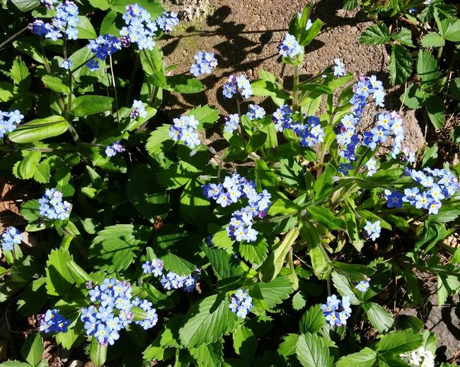 Showcase April Forget Me Nots Flowers Blue Spring Sunshine Ladyphotographerofthemonth EyeEm Nature Lover Pacific Northwest  In My Garden
