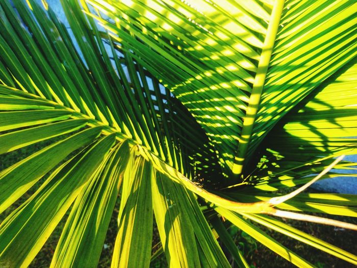 Backyard Palm Palm-tree