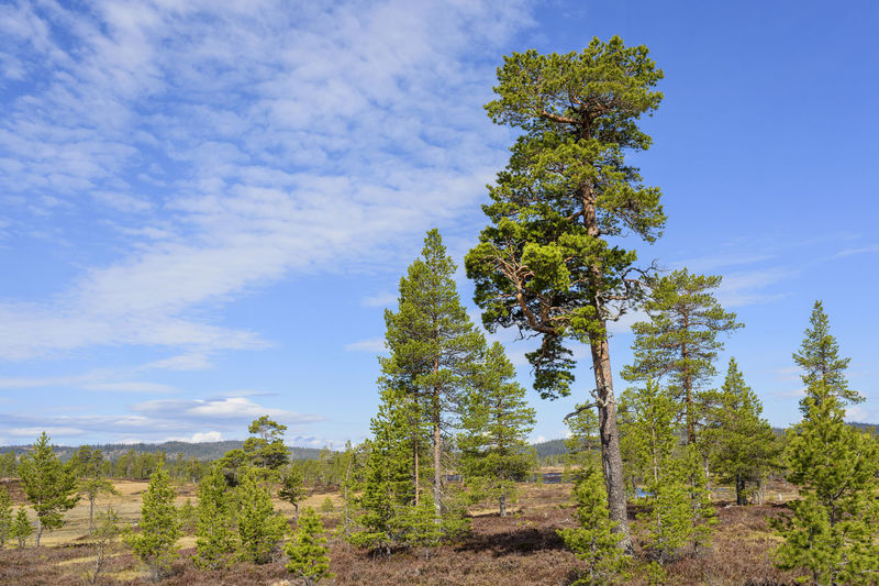 Pine trees in forest against blue sky