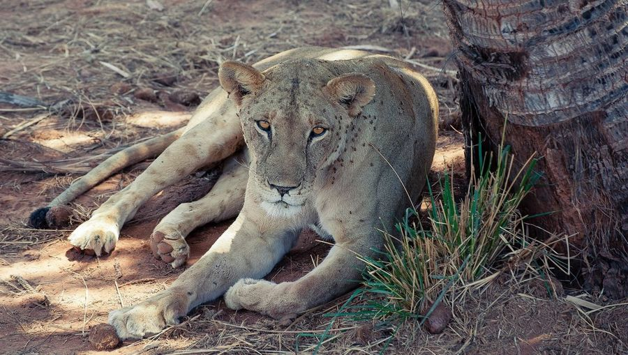 Portrait Of A Relaxed Lioness