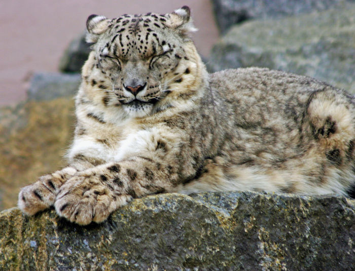 Close-up of snow leopard relaxing on rock formation