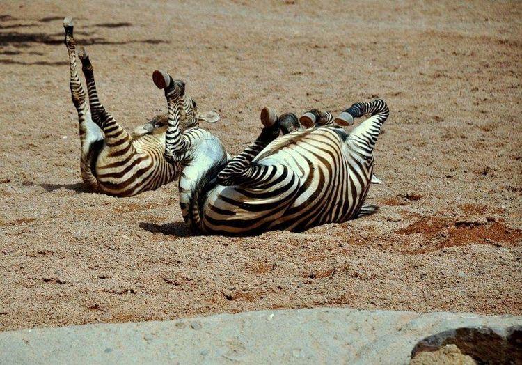 Zebra Nature Mum And Son