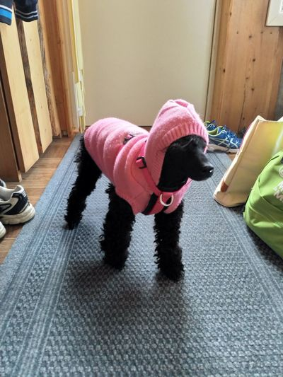 Poodle going out Dog Domestic Animals Poodle Pink Color Black One Person Mature Adult Adult Indoors  People Adults Only One Man Only