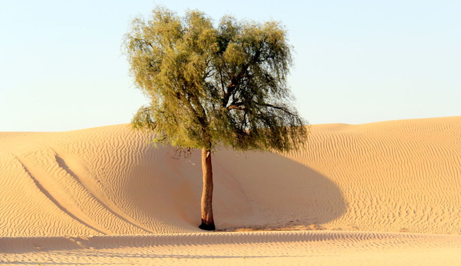 Abu Dhabi Arid Climate Beauty In Nature Clear Sky Day Desert Landscape Lone Nature Outdoors Sand Sand Dune Scenics Shadow Sky Sunlight Tranquil Scene Tranquility Tree Perspectives On Nature