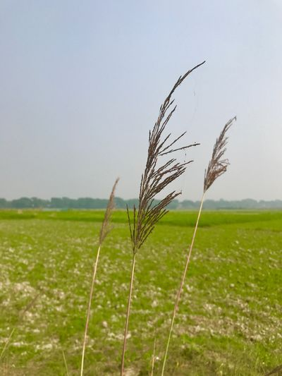 Field Growth Cereal Plant Agriculture Crop  Nature Farm Rural Scene Tranquil Scene Wheat Tranquility Cultivated Land Landscape Ear Of Wheat Scenics Beauty In Nature No People Outdoors Day Grass IPhoneography Beauty Of Bangladesh EyeEmNewHere @anickchowdhurymp Eyeembangladesh