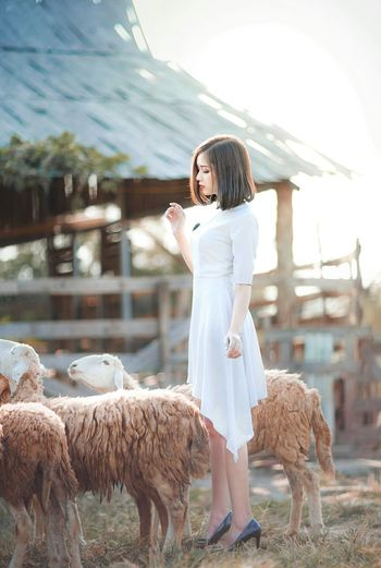 Young Women Wedding Dress Bride Portrait Females Beauty Beautiful People Women Smiling Happiness Sheep Bale  Haystack Grazing Farmland Hay Livestock Tag Livestock Tag Domesticated Animal Tag Lamb Animal Pen Alpaca Flock Of Sheep Barn Hay Bale Cattle Rolled Up Pasture Straw Livestock