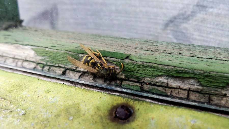 Macro Beauty Insect Wings Insect Photography Insect Close-up Bugs Bees Wasp Window Window Frame Wood Glass Old House Invaders Must Die Dead Insect Invaders Crawlies Creepy Crawly Nature Close-up Outdoors Insect Ant No People Macro Photography Macro_collection