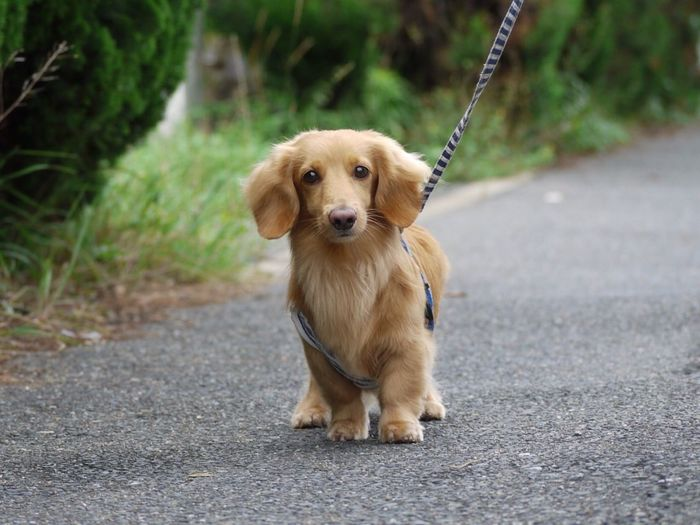 Portrait of a dog walking on road