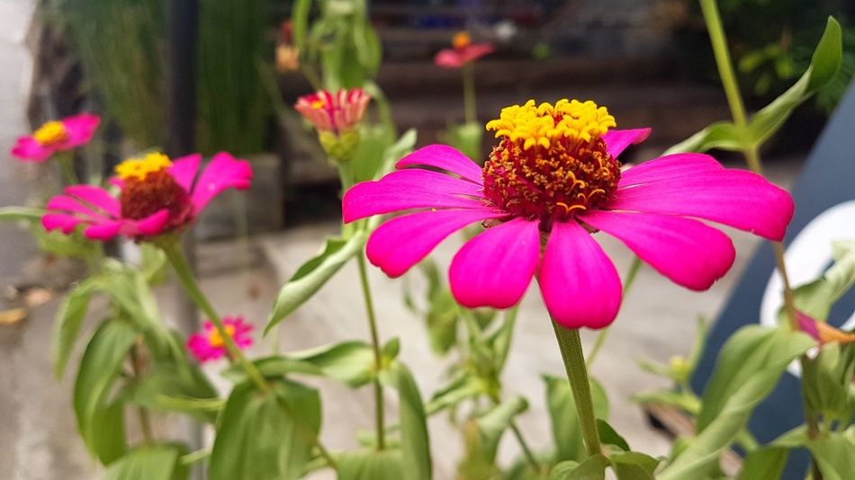 Flower Petal Plant Fragility Growth Nature Beauty In Nature Flower Head Freshness Coneflower Pollen Day No People Outdoors Focus On Foreground Eastern Purple Coneflower Blooming Close-up